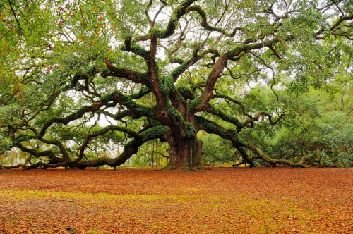 Angel Oak - Charleston, SC